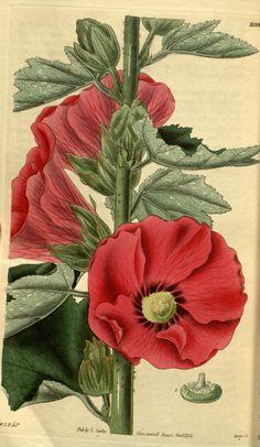 Althaea rosea. v.59 [new ser.:v.6] (1832) - Curtis's botanical magazine. - Biodiversity Heritage Library