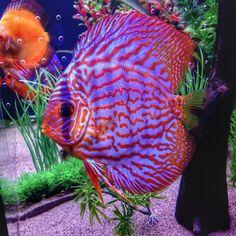 Discus fish   ♡ ƦЄᑭɪƝIЄƛDƠ ᑭƠƦ ♡ © ƦƠχƛƝƛ ƬƛƝƛ ♡