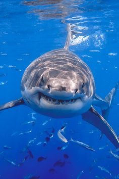Great White Shark / George Probst