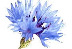 Cornflower image taken by nature photographer Richard Cottle. Read more about the herbal skincare properties of cornflower at www.herbhedgerow.co.uk