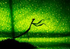 The Celestial Conductor - Comment and Photo by Nadav Ragim    A little bit about how this is done: this particular shot's bokeh was received from a back lit lemon leaf behind the mantis. Lemon leaves have small pores all over them. The back light shines through these pores, and the fact that they are outside the depth of field, causes them to appear in the shape of the lens' aperture.