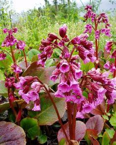 Schoenlappersplant Bergenia cordifolia 'Rotblum' Plants, Flora, Plant