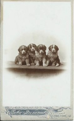 c.1890 cdv of four fluffy, roly poly puppies (who will grow up to be big dogs). Photo by Gebr. Rummel of Germershein. From bendale collection via @KaufmannsPuppy