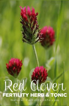 Red Clover (Trifolium pratense) is spreading like wild fire through fertility communities everywhere! So what has given this plant such popularity recently?   Because it is so high in nutrition it is often used in herbal infusions during pregnancy preparation, pregnancy and lactation when directed by a natural physician or herbalist. #fertility #infertility #ttc #ttcsisters #IVF #PCOS #fertilityherbs #naturalfertility #NaturalFertilityShop #NaturalFertilityInfo
