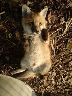 Fox | Vixen | Tod |