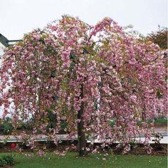 Le cerisier à fleurs du Japon pleureur est un arbre aux rameaux étalés, à floraison double rose et au feuillage caduc bronze, vert puis orangé à l'automne.