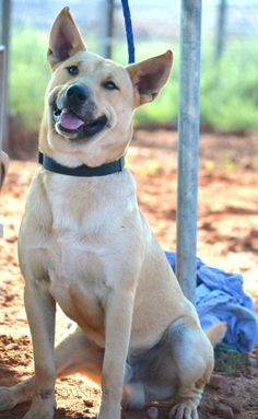 ADOPTED!!! NICK <3 Carolina Dog Mix • Adult • Male • Lg. Page Animal Adoption Agency, AZ. We all love his smile & sweet charm! The smile is there all the time! An all around happy dog. Nick is more on the mellow side, but will get up, play, hike or enjoy a nice walk. Nick per-furs to be in a home w/ female dogs or would be happy as a single guy. He is full grown & will make a great addition to any family! Please call for more info on Nick 928-640-1500