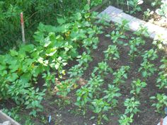 July 4: Peppers and yellow squash/zucchini are really taking off now.