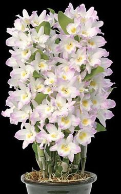 Religious Magic And Spiritual Ability Element One Dendrobium Fancy Angel 'Lycee', Den. Upin Red X Den. It Is A Nobile Dendrobium With A Delicious Sweet Fragrance. Orchids Garden, Orchid Plants, Exotic Plants, Exotic Flowers, Beautiful Flowers, Dendrobium Nobile, Orquideas Cymbidium, Wholesale Plants, Strange Flowers