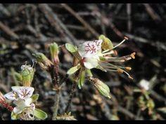 Pelargonium tragacanthoides in Karoo Desert