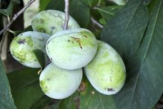 "All About Pawpaws - Growing with Stark Bro's:  ""Pawpaws are actually very large berries, sometimes growing longer than 6 inches. They turn from green to yellow (or brown) when ripe. The fruit has a strong tropical flavor — similar to bananas, pineapples, or mangoes!  Ripe pawpaw fruits have a very short shelf life: about 3-5 days. This has made it impossible for pawpaws to be sold in most grocery stores, since they can't be transported to market quickly enough. """
