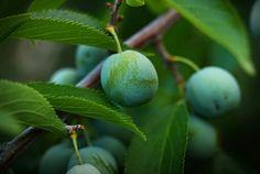 green plums by Johnny Gomez, via 500px