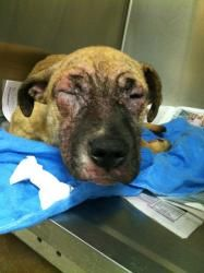 #PENNSYLVANIA #URGENT ~ IZZY ID A18850834 is a 5-6mo old #SpecialNeeds #adoptable Terrier #puppy dog in #Philadelphia. Surrendered to ACCT because her owner couldn't afford her medication. She has pretty severe Demodex mange on her face & legs- she's swollen & sooo uncomfortable! Her face is so bad that she can barely open her eyes—this poor girl really needs help! ANIMAL CARE & CONTROL TEAM of #PHILADELPHIA 111 W. Hunting Park Ave, Phila., PA 19140 adopt@acctphilly.org Ph 267-385-3800