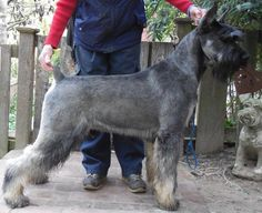 salt and pepper giant schnauzer - Google Search