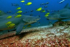 Diving with sharks in Beqa Lagoon