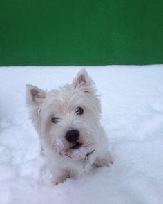 Hi my dear friends!)))Have a good week!  #vsco#vscocam#vscorussia#vscomoscow#moscow#vscodog#инстаграмзверят#вестик#westie#westiegram#instawestie#instadog#westiemoments#westieoftheday#picoftheday#darkroom#dogs#dogsofinstagram#instagram#instagramrussia#howimetmypet#weeklyfluff#exellent_dogs#lacyandpaws#dogsofinstaworld#вестик#вестхаилендуаиттерьер#terrier#pets#mypets#dogs#vscodog#animal by julij_patrick