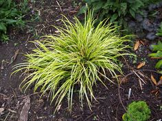 Growing ornamental grasses in containers is a great way to prevent them from spreading or taking over the garden. Here are the 10 good choices. Shade Perennials, Shade Plants, Container Plants, Container Gardening, Ficus Ginseng Bonsai, Landscaping Equipment, Backyard Plants, Terrarium Plants, Spring Plants