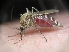 Komary (Culicidae) – występują na całym świecie. Znanych jest ponad 40 rodzajów i ok. 3,5 tys. gatunków komarów. Samice tych owadów ssą krew zwierząt stałocieplnych, ponieważ do powstania jaj w jajnikach wymagają odżywiania się krwią określonych gatunków zwierząt. Natomiast samce żywią się nektarem kwiatów.