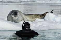 Paul Nicklen: Leopard Seal