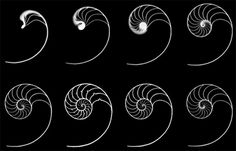 Nautilus shells are thought to demonstrate the golden rectangle at work in nature (Image via Wikimedia Commons)