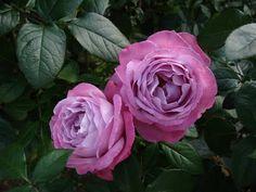 "Tea Rose Hybrid "" Blue River""   beautiful lavender color"