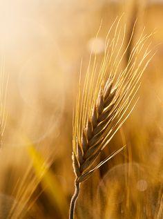 Lughnasadh - Lammas - Harvest
