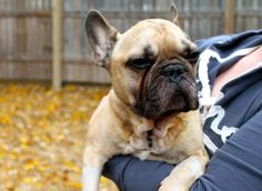 Goga is an adoptable French Bulldog Dog in St. Paul, MN. _Goga_____ is being fostered in _Minnesota_______ and will not be shipped. Applicants should be prepared to pick Goga_____ up in person. For mo...