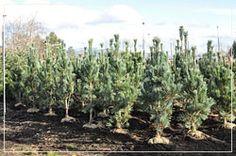 Pinus 'Vanderwolf' - Vanderwolf Pines Shooting Star Nursery, Shooting Stars, Pine, Plants, Falling Stars, Pine Tree, Flora, Plant, Planting