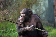 Fashioning spears and wielding themto hunt– these sound like typical activities of our human ancestors. But the surprising fact is that not only aretool-use and tool-building carried out byother animal species,they'redone in the context of hunting as well. Chimpanzees in the Fongoli savanna of Senegal have been observed1creating spears out of sticks, using an up …