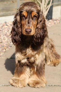 Brown and tan English cocker spaniel