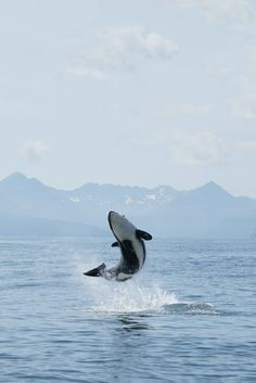A very joyous orca calf. The calf is Calf AV096a (Tigrenok) and is making a high jump in Avacha Gulf.