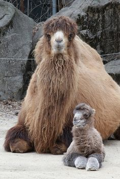 Newborn Bactrian Camel with his Mom. So shaggy and cute. http://www.zooborns.com/zooborns/2014/03/bactrian-camel-takes-his-first-steps-at-cincinnati-zoo.html# Watch the video on Zooborns when he stands for the first time. Wonderful!!