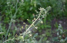 Ez az ismert növény a belső vérzések - méh, gyomor, bél - csillapítására is képes! - Egy az Egyben