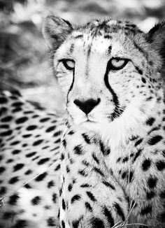Wild Animal Wall Art -  Cheetah Contemporary Black and White Fine Art Photography by Beth Wold www.bethwold.com #cheetah $33