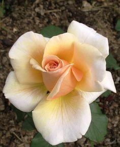 'Mary Jean' | Hybrid Tea Rose. Harkness, 1990