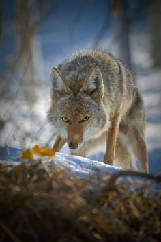 Attacks and bites wounds aren't the only danger coyotes pose to your cats and dogs. Tips on how to coexist with the coyotes in your neighborhood.