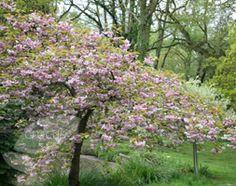 Prunus 'Kiku-shidare-zakura'. Cheal's weeping cherry.