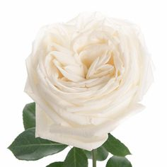 True White Garden Roses | FiftyFlowers.com - 24 for $119.99