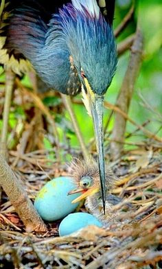 heron and chick -héron et poussin Pretty Birds, Beautiful Birds, Animals Beautiful, Cute Animals, Baby Animals, Beautiful Pictures, Kinds Of Birds, All Birds, Love Birds