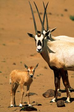 This baby Arabian Oryx will one day grow massive antlers like its parents. ~ The Arabian oryx at AWPR are being utilized by the Environment Agency – Abu Dhabi (EAD) for their regional oryx conservation projects, with animals from AWPR being used for reintroduction in the UAE and Jordan.  AWPR veterinarians work with EAD to support the management of reintroduced animals and have recently worked with herds in UAE, Jordan and Syria.