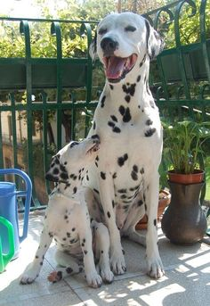 The Dalmatian is a breed of large dog noted for its unique black or liver spotted coat and mainly. #Relax more with healing sounds: