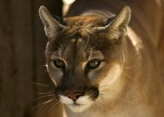 for cougars (a.k.a. mountain lions). A couple of weeks ago, a cougar ...