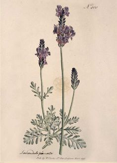 The Flora & Fauna Greeting Cards feature nature-inspired illustrations on the front and are blank inside for writing your own message. Front Painting: Lavandula pinnata Natural History Museum, London,
