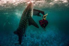 """Die Zerbrechlichkeit und Schönheit der Natur bewahren und die Aufmerksamkeit auf die Erhaltung der Ozeane und ihrer Bewohner lenken – das ist das Ziel von Shawn Heinrichs und seinem Projekt """"Whale Shark Series"""". Shawn – presigekrönter Fotograf, Filmemacher, Kameramann, Naturschützer und Taucher – hat in Zusammenarbeit mit dem Fashion- und Wildlife Fotografen Kristian Schmidt eine wundervolle, atemberaubende und ehrfurchteinflößende Fotoserie... Weiterlesen"""