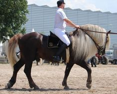 This Black Forest horse is a critically rare breed originating from Germany. It's Flaxen Liver Chestnut is a coat not many have ever heard of let alone seen! Well here it is! Find out more about this coat on http://www.horse-know-it-all.com/horsecoatcolors.html