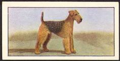 """Airedale Terrier   card from England.  This is a card from a set of 24 that was issued by Barbers Teas in 1961. It is called """"Dogs: a Series of 24"""" and each card was issued one at a time in packets of tea.  Airedale Card 6 (Barber Tea, 1961)"""