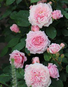 ギヨーローズ 'ウィリアムクリスティ' Guillot Rose 'William Christie'