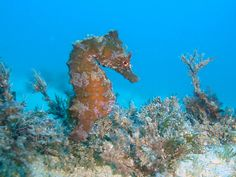 Diving with Seahorses in Malta