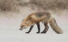 Red Fox Photo by Harry Collins — National Geographic Your Shot