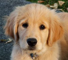 Cute Golden Retriever Puppies | Cute Puppy of the Day: September 8th, 09
